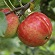 Read more about: Researchers cultivate wine gold in Danish apples