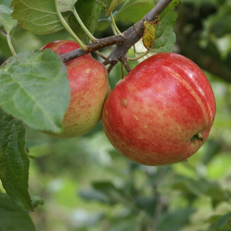 Researchers cultivate wine gold in Danish apples