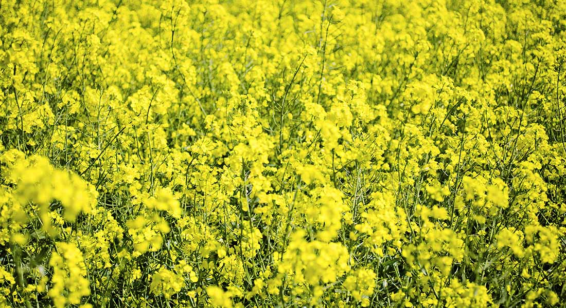 Picture of rapeseed field in bloom