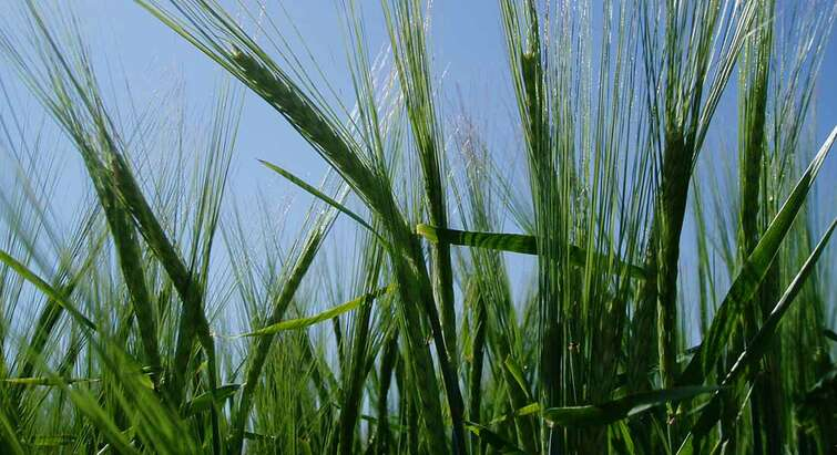 Picture of barley with blue sky in the background