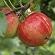 Læs mere om: Forskere fremelsker vin-guldet i de danske æbler
